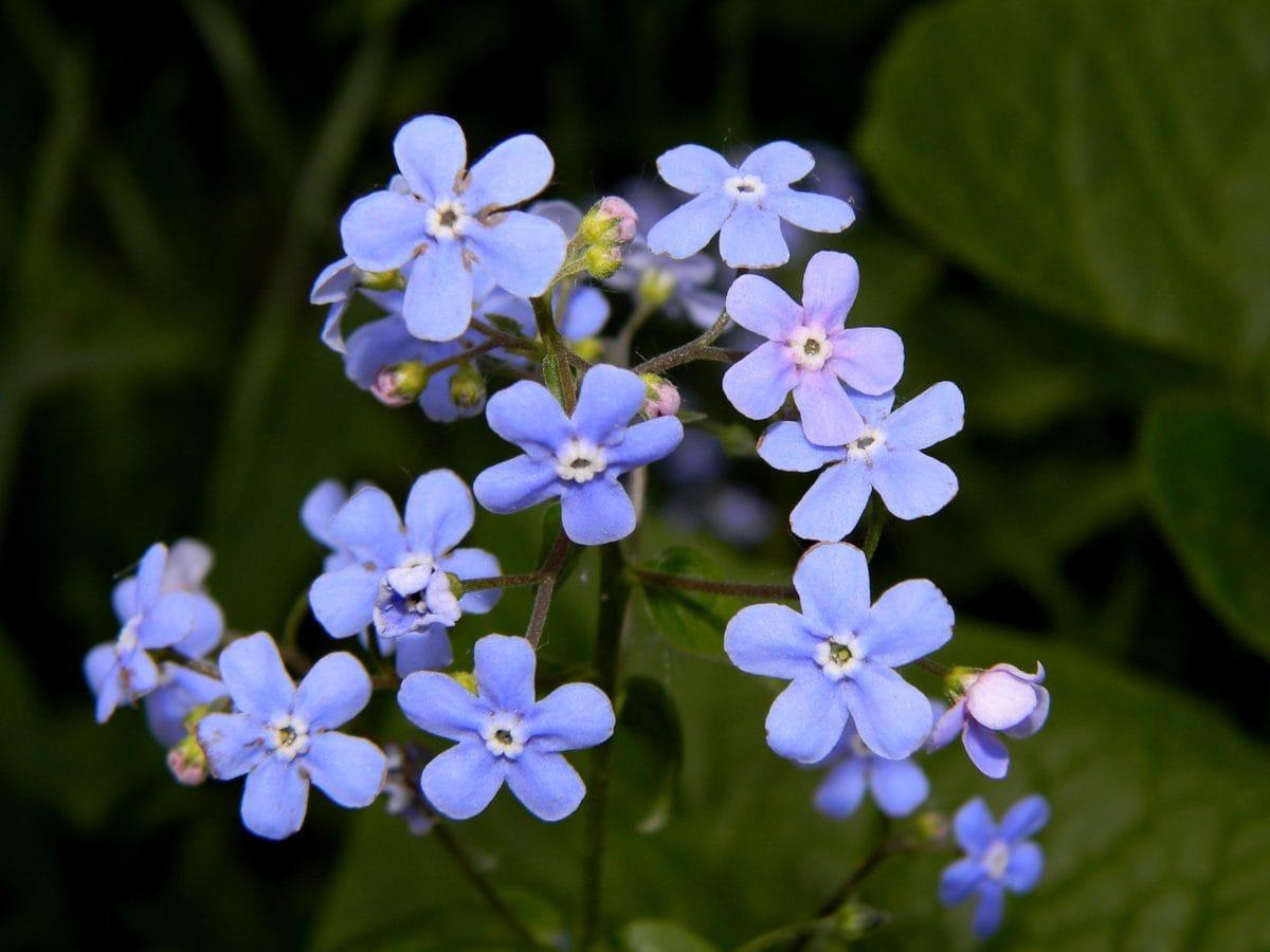 sommer, lilla blomst, blad, natur, urt, plante, blomstre, hage, skygge