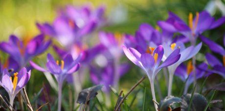 Crocus pourpre, jardin, pétale, feuille, nature, été, fleur