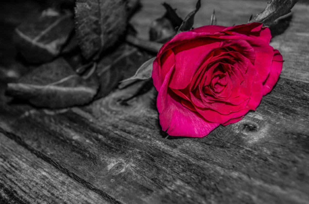 fotomontaje, monocromo, flor roja, rosa, tablón, sombra