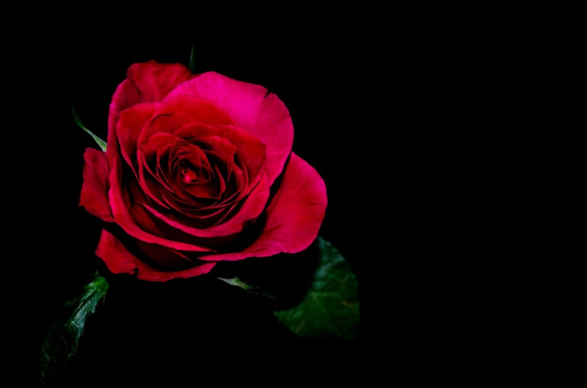 petal, flower, red rose, plant, blossom, indoor, shadow, darkness