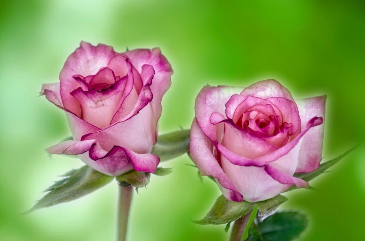 fotomontaj, trandafir roz, petală, floare, frumos, frunze, natura