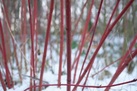 shrub, winter, snow, herb, outdoor, leaf, nature, red