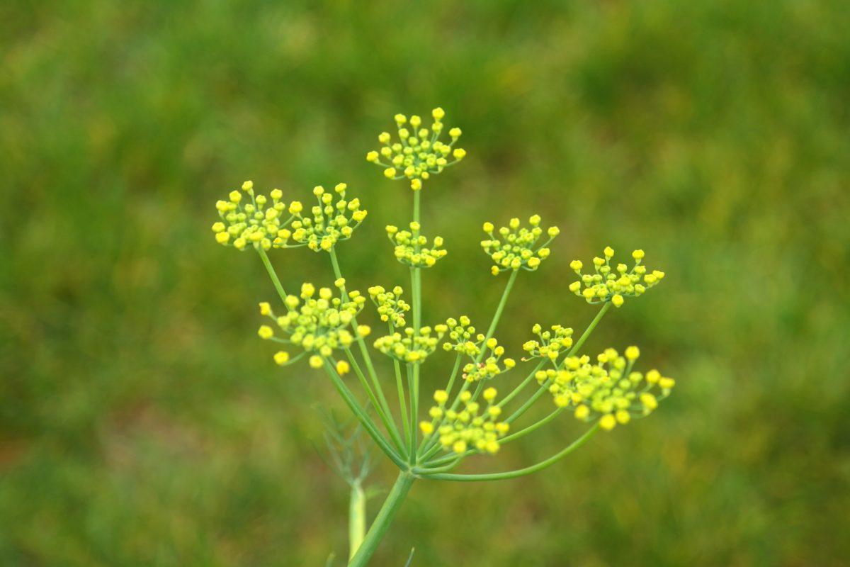 priroda, biljka, biljka, polje, Zeleni cvijet, livada, organizam, trava