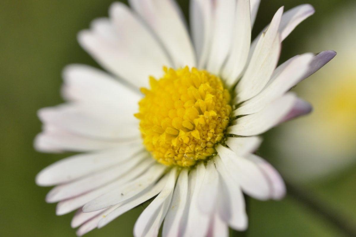 Margarita, flor blanca, verano, naturaleza, flor, planta, jardín, Pétalo, floración
