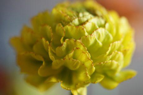 gul blomst, blad, natur, urter, plante