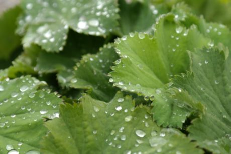 green leaf, nature, dew, rain, parsley, plant, vegetable, herb