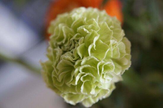 Natur, Blatt, grüne Blume, Kraut, Pflanze, Schatten