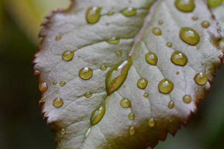 luonto, sade pisara, kaste, vihreä lehti, kosteus, ekologia, biologia