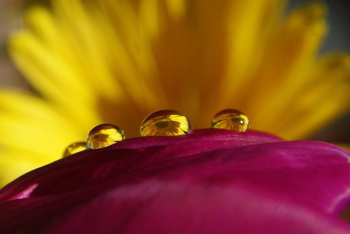 jardín, Rocío, naturaleza, humedad, verano, lluvia, flor amarilla, Pétalo, planta