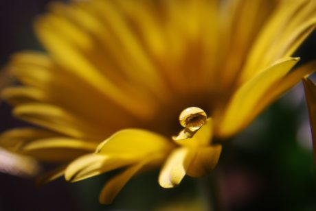 yellow flower, nature, dew, summer, petal, rain, plant, herb, dandelion, blossom