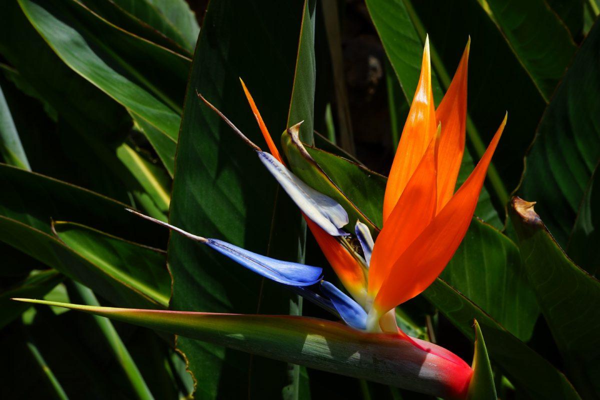 Egzotični cvijet, ljeto, vrt, priroda, zelena lista, tropska biljka