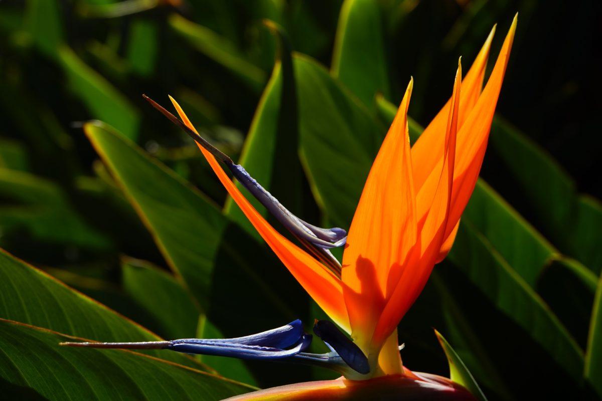 exotisk blomma, löv, natur, sommar, skugga, trädgård, växt, blomma