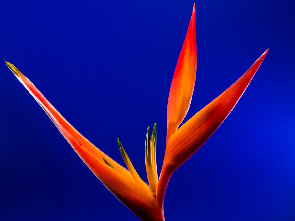 tropical herb, detail, pistil, exotic flower, nectar, petal