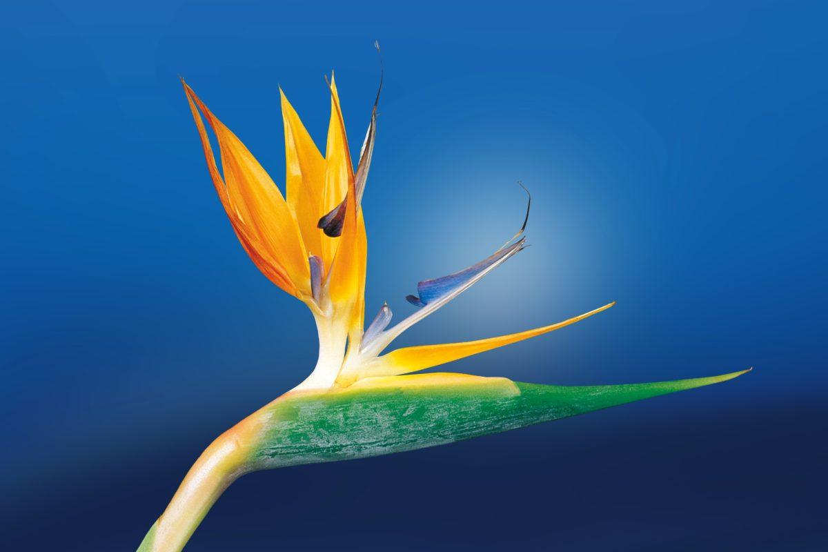 exotic flower, petal, pistil, leaf, nature, sky, tropical herb