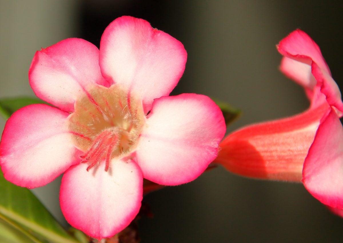 pink flower, pistil, petal, detail, nature, horticulture, ecology, herb