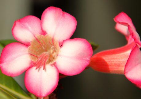 fleur rose, pistil, pétale, détail, nature, horticulture, écologie, herbe