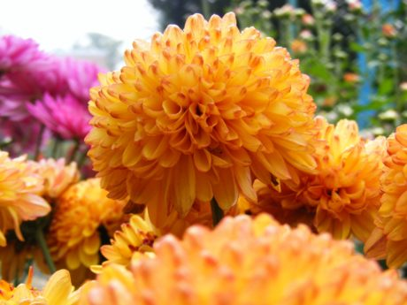 summer, beautiful, orange color, petal, garden, dahlia flower, nature, herb, plant