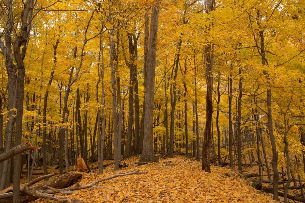 dřevo, list, krajina, strom, příroda, topol, Les, podzimní sezóna
