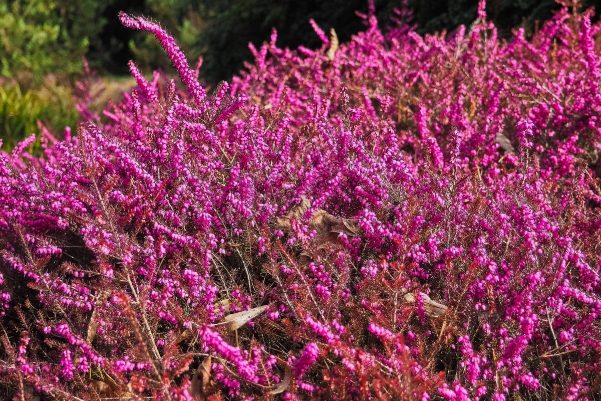 summer, flower, nature, plant, shrub, herb, tree, outdoor