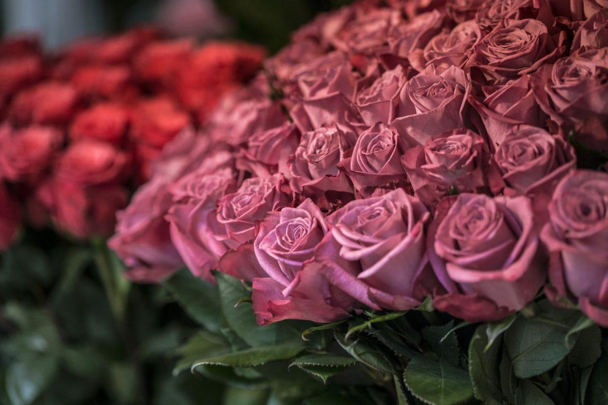 bouquet, purple rose, flower, arrangement, plant, pink, blossom