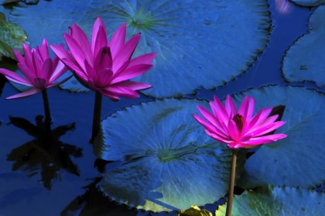 purple lotus, exotic flower, leaf, water lily, nature, summer, garden, aquatic herb