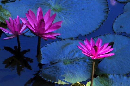 Lotus pourpre, fleur exotique, feuille, Lys d'eau, nature, été, jardin, herbe aquatique