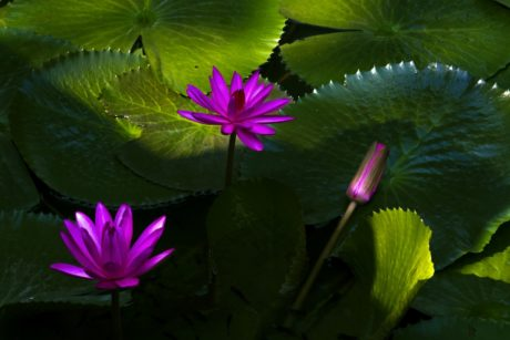 garden, lotus, purple water lily, nature, flower, summer, leaf, aquatic herb, shadow