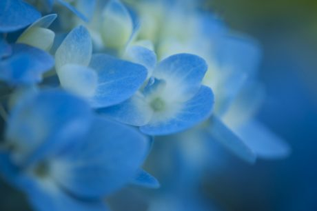blue flower, nature, herb, plant, organism, detail, petal