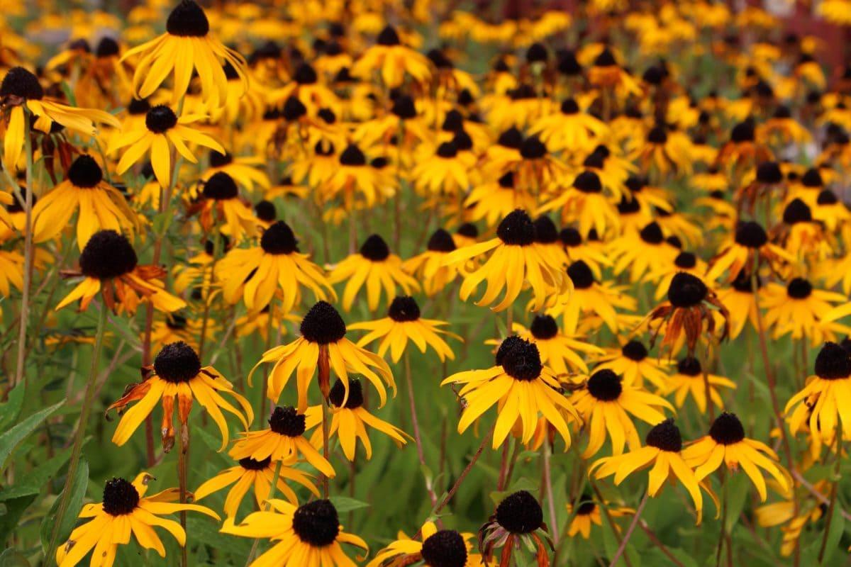 çiçek, Doğa, Bahçe, yaz, çayır, tarla, bitki, Petal