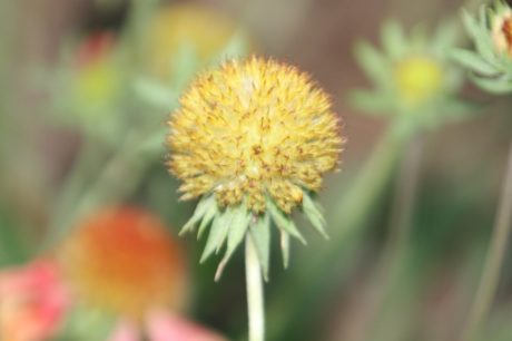 Градина, природа, листа, лято, жълто цвете, растение, билка, цвят