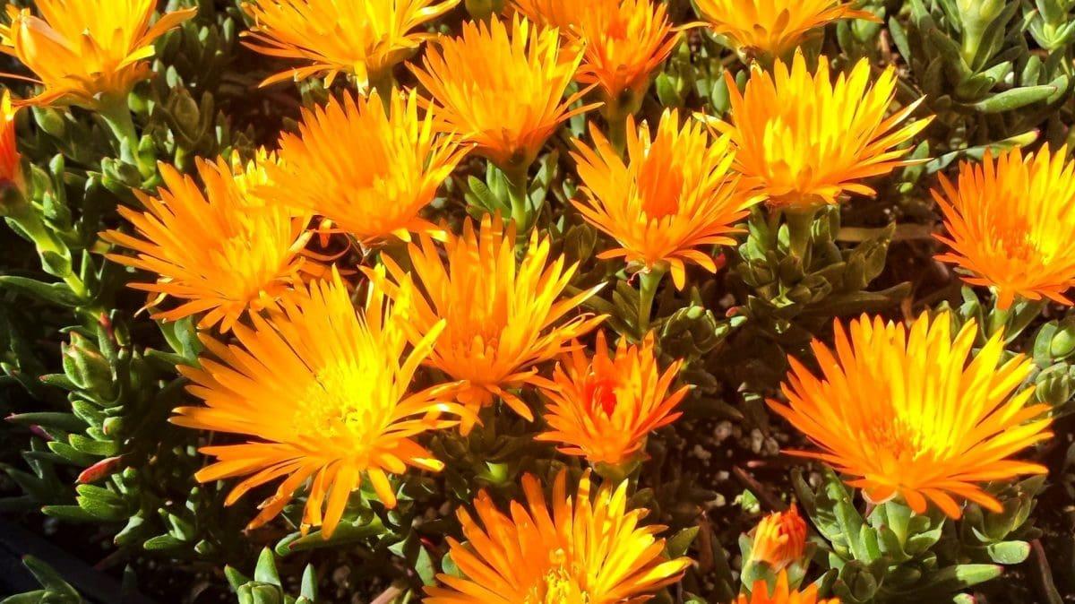 trädgård, natur, kronblad, sommar, blomma, växt, solros, blomning