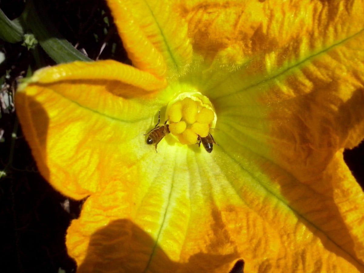 жълто цвете, екология, биология, плодник, detaul, на открито, природата, билка