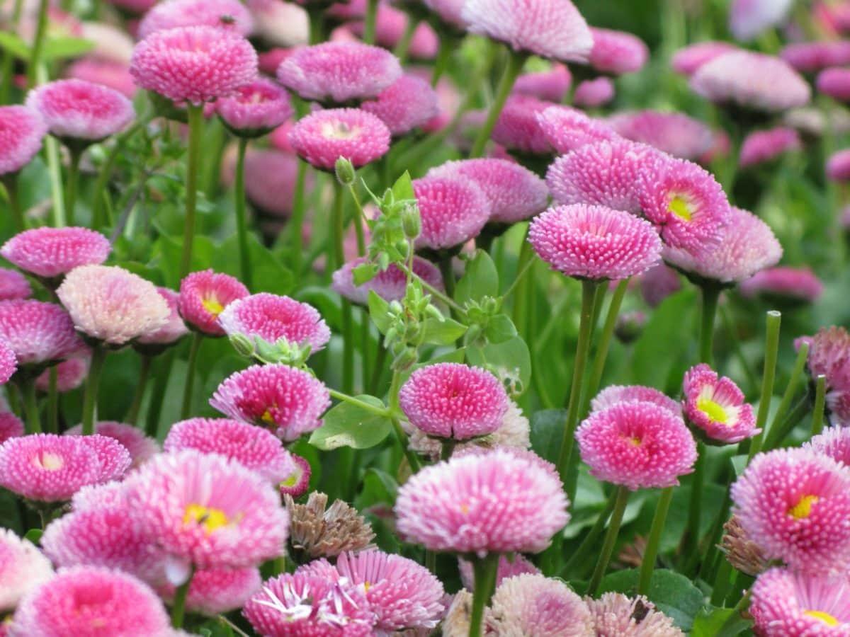 priroda, latica, polje, list, ljeto, vrt, ružičasti cvijet, glava