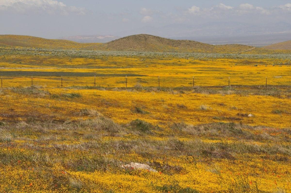 krajolik, priroda, Rapeseed, Steppe, polje, brdo