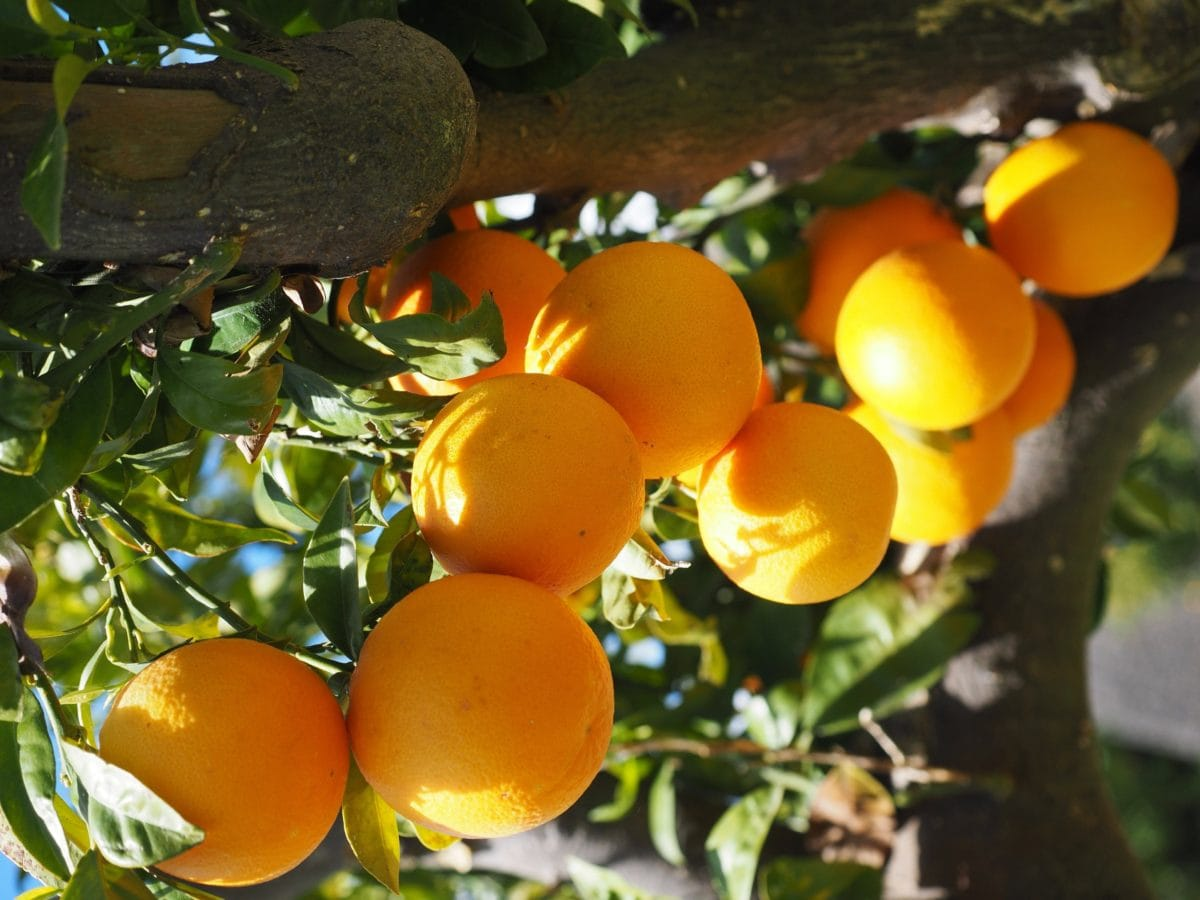 mat, frukt, jordbruk, blad, tre, sitrus, sitron, organisk, Orchard