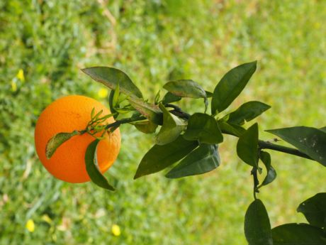 tree, summer, fruit, nature, leaf, agriculture, citrus, food