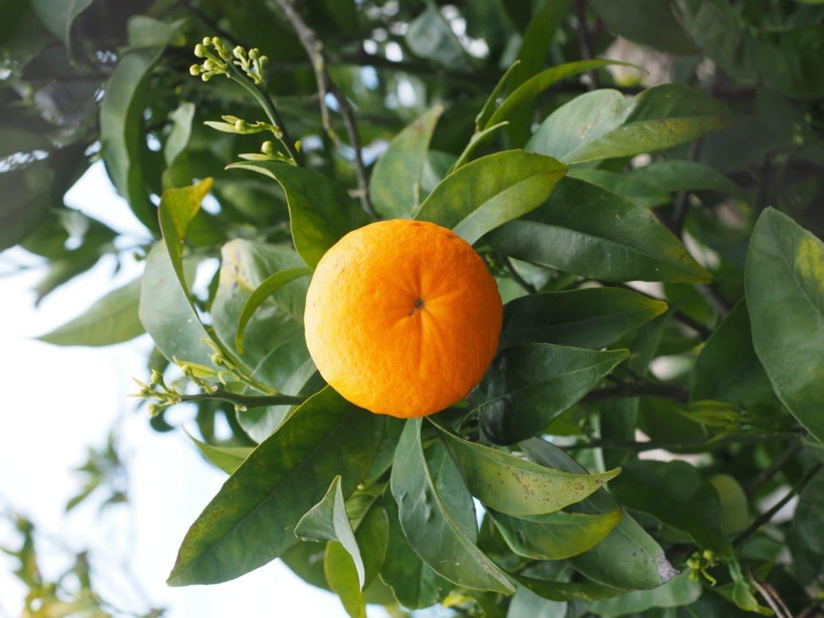 Leaf, mad, natur, frugt, citrus, træ, tangerine, vitamin