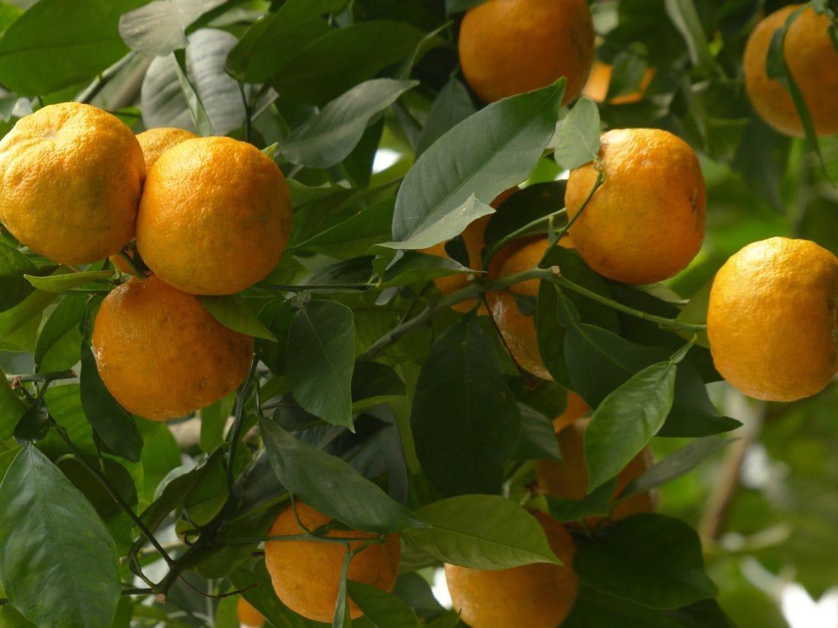 orange tree, exotic fruit, citrus, tangerine, agriculture