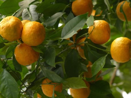 orange tree, exotic fruit, citrus, tangerine, agriculture