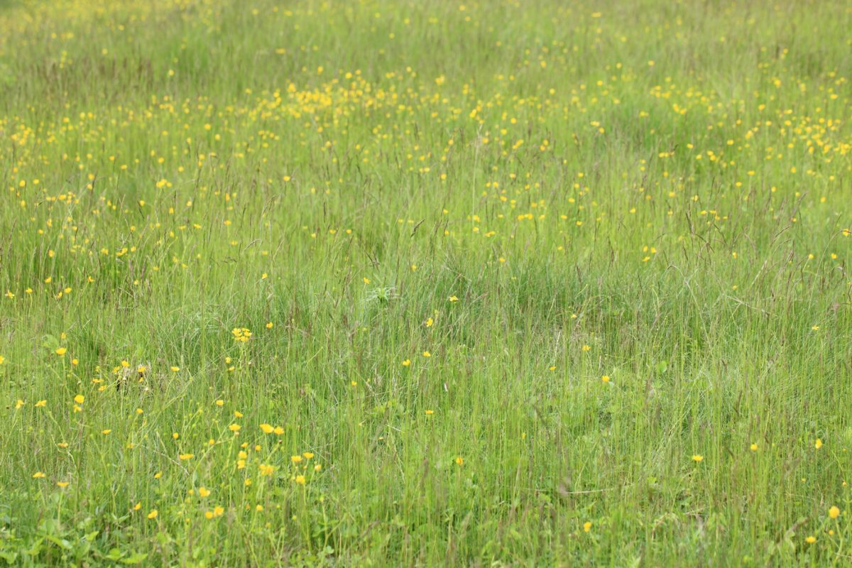 Sommer, Natur, Blume, Feld, Grasland, grünes Gras, Kraut, Pflanze