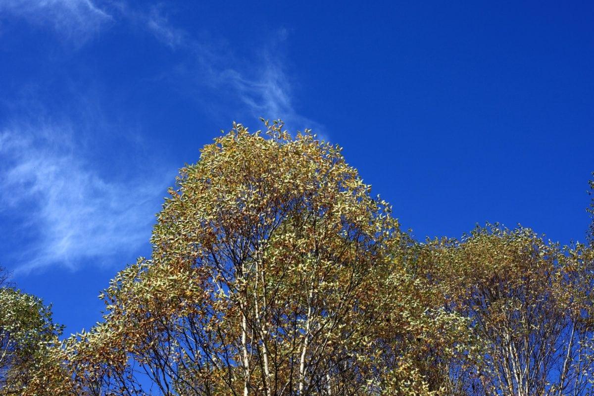 list, drvo, stablo, priroda, krajolik, Poplar, jesen, biljka