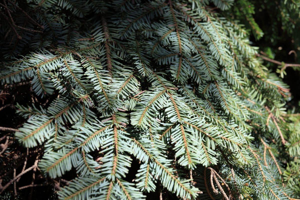 jehličnatý strom, dřevo, jehličnan, borovice, smrk, strom