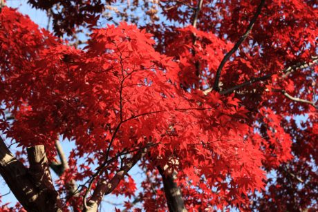red leaf, tree, nature, autumn, plant, forest, foliage, outdoor