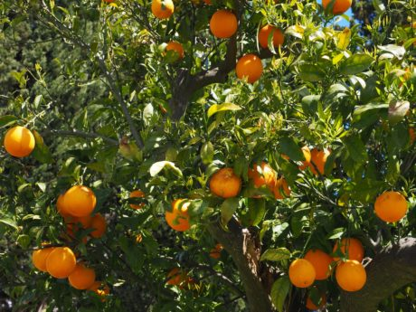fruit orange, nourriture, agrumes, feuille, jardin, agriculture, vitamine, mandarine