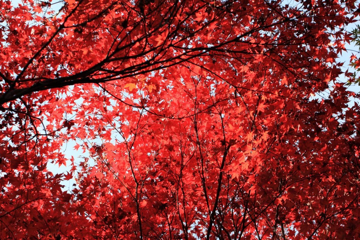 red leaf, tree, autumn, branch, plant