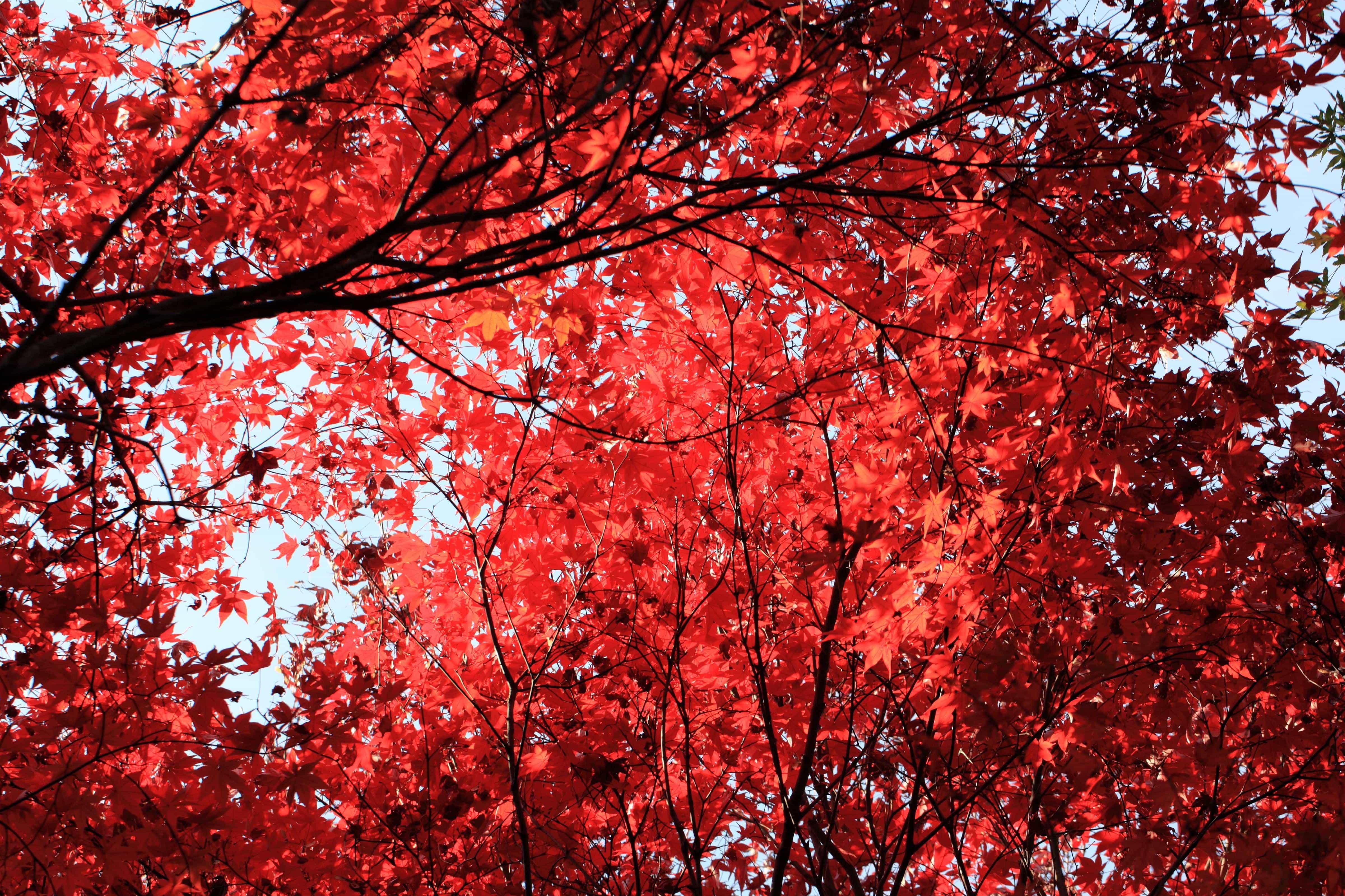 image libre: feuille rouge, arbre, automne, branche, usine