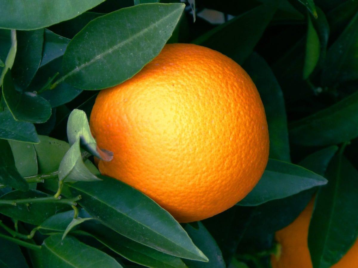 Orangenfrucht, Blatt, Nahrung, Zitrusfrüchte, Mandarine, Mandarine, Vitamin, Schatten, Bio