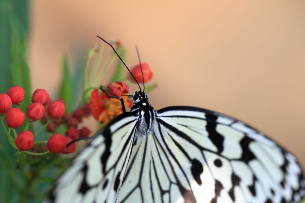 nature, white butterfly, insect, plant, flower