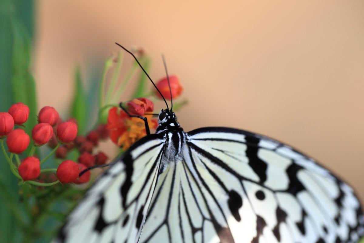 natur, hvid sommerfugl, insekt, plante, blomst