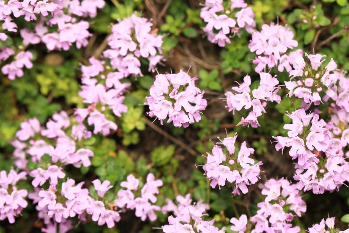 Natur, rosa Blume, Blütenblatt, Garten, Kraut, Pflanze, Blüte, rosa
